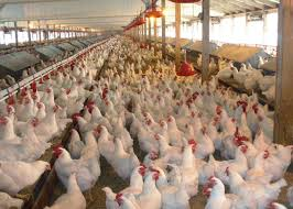 FG Plans Relief Package For Poultry Farmers